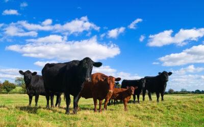 Pokazy wspierające producentów żywca wołowego